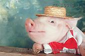 Interlitho, Alberto, ANIMALS, pigs, photos, pig with hat(KL15018/3,#A#) Schweine, cerdos