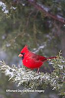 01530-20812 Northern Cardinal (Cardinalis cardinalis) male in Keteleeri Juniper tree (Juniperus chinensis 'Keteleeri')  in winter, Marion Co., IL