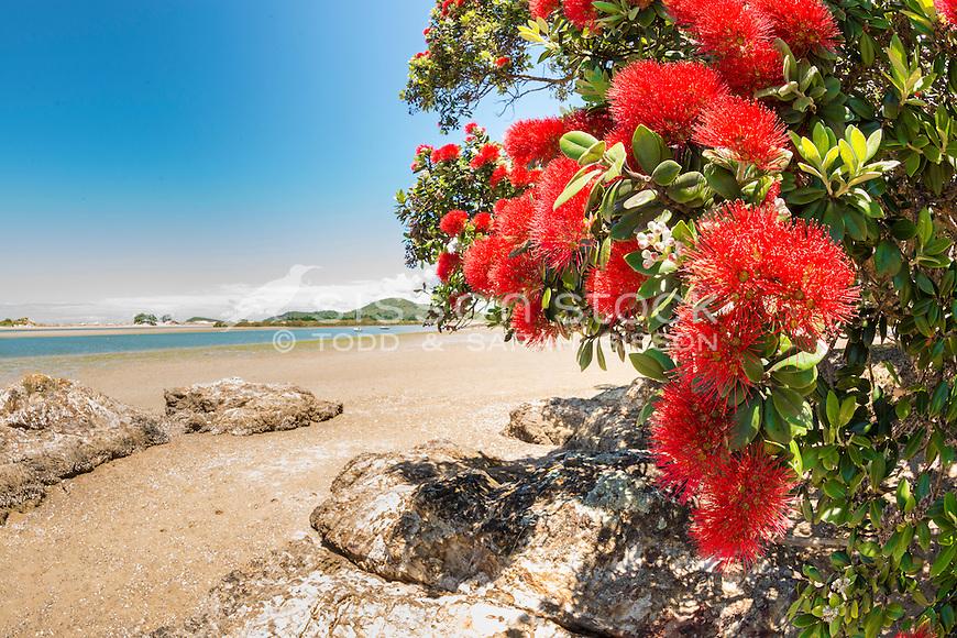 Pohutukawa Flowers, Tutukaka Coast, New Zealand - stock photo, canvas, fine art print