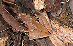 Treefrog, Gephyromantis sp, Ranomafana National Park, Madagascar, camouflaged on the forest floor,