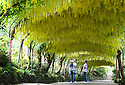 05/06/14 <br /> <br /> Isla Scrase with her parents James and Samantha.<br /> <br /> Visitors flock to marvel at Britain's largest laburnum arch at Bodnant Garden in Conwy, North Wales. The damp weather means that the blooms which normally only last two weeks will last longer this year. <br /> <br /> <br /> All Rights Reserved - F Stop Press.  www.fstoppress.com. Tel: +44 (0)1335 300098