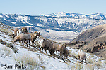 Bighorn sheep herd during the rut. Park County, Montana.