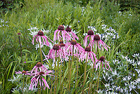 Echinacea pallida + Eryngium giganteum Silver Ghost in prairie style planting combination