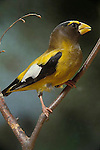 Evening grosbeak, male.  Hesperiphona vespertina