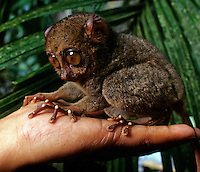 Environment,the small Tarsier Monkey from the Philippines