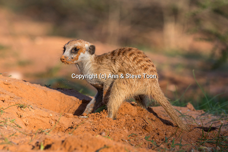 Meerkat (Suricata suricatta) digging, Kgalagadi Transfrontier Park, Northern Cape, South Africa, January 2017