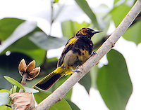 Black-cowled oriole immature