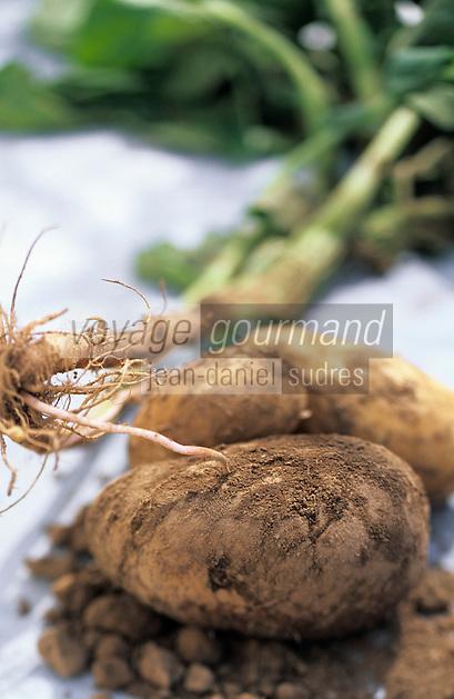 Europe/France/Auvergne/12/Aveyron/Laguiole: Ingrédients de la truffade et de l'aligot - La pomme de terre