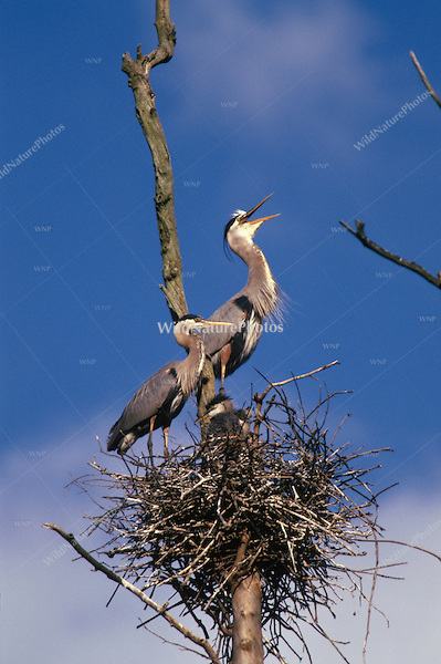 Great Blue Heron nest with adults and nestlings.