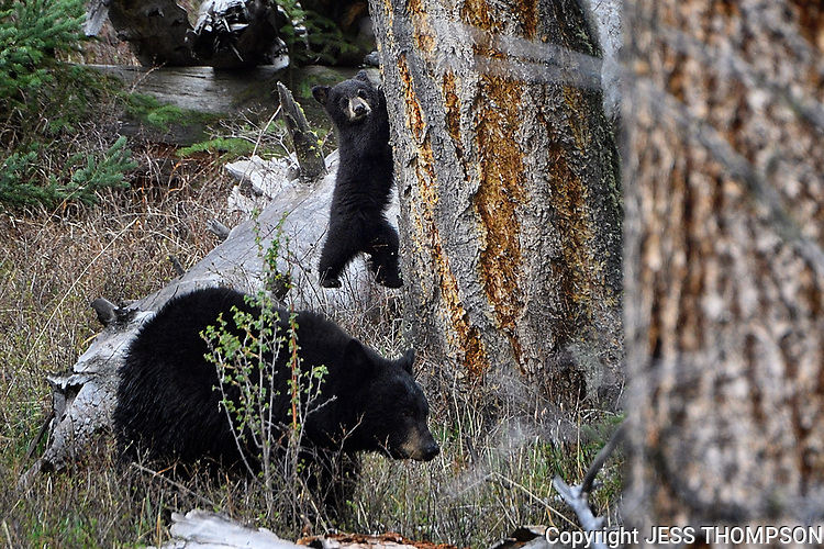 Black Bear Cub up a treee in Yellowstone