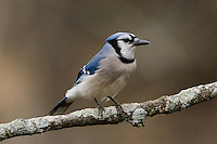 Blue Jay (Cyanocitta cristata) perched on branch