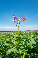 Maris Piper potato in flower - Linclonshire, July