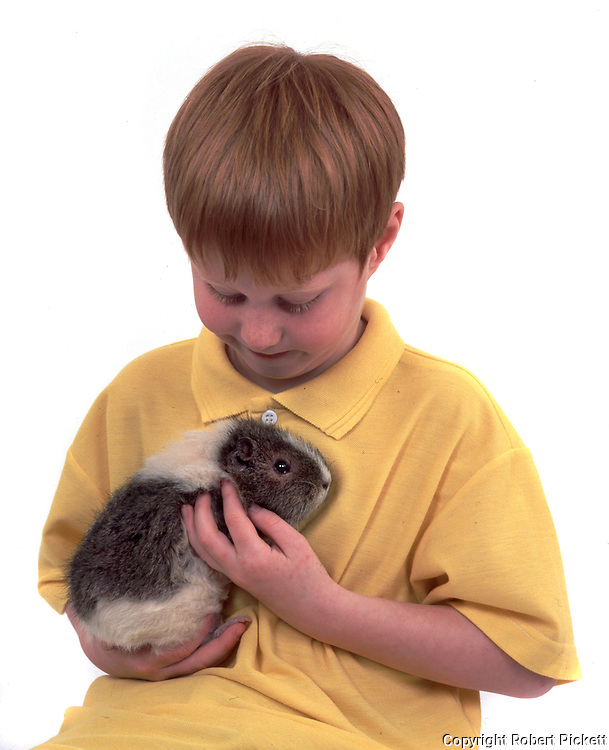 Young Boy holding Pet Guinea Pig, aged 7 years old, domestic, white background, cut out, studio, grey and white part colour