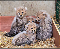 BNPS.co.uk (01202 558833)<br /> Pic: IanTurner/BNPS<br /> <br /> Spot On - Pitter-patter of tiny paws as a quartet of Cheetah cubs born at Longleat.<br /> <br /> Staff at the Wiltshire safari park are celebrating a record big cat litter for miracle mum Wilma.<br /> <br /> It's extremely rare to get four cubs all surviving, even in captivity. And in the wild only 1 in 3 cubs would be expected to reach adulthood.<br /> <br /> Part of a captive breeding program, the two boys and two girls are a ray of hope for the 'Vulnerable' species whose habitat is threatened in Africa.
