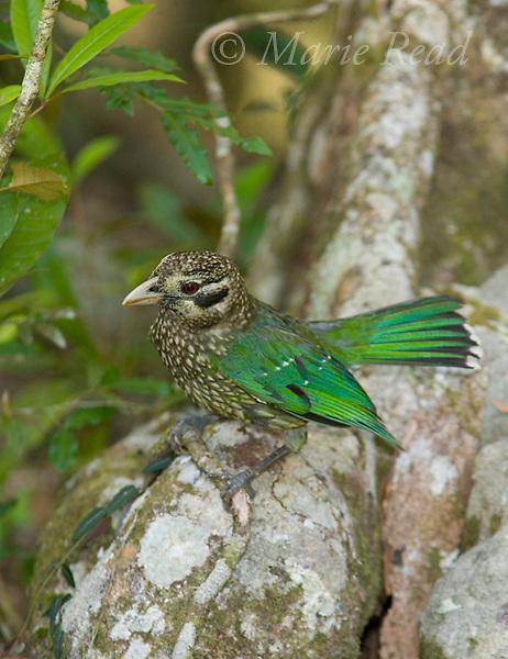 Spotted Catbird (Ailuroedus crassirostris maculosus), Malanda, Queensland, Australia