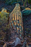 Fallen saguaro cactus (Carnegiea gigantea).  Saguaro National Park, Ariz.  March.  Late evening light.