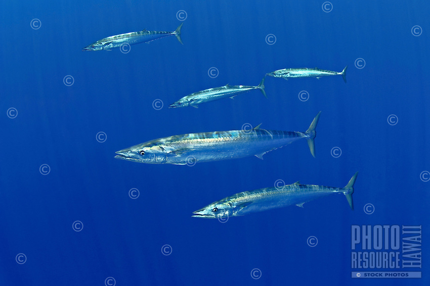 Schooling wahoo, Pacific kingfish, or ono in Hawaiian, Acanthocybium solandri, free-swimming near FAD (fish aggregation device), Kona Coast, Big Island.