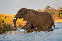 """Go to Botswana, they said. You'll get eye-level views of Elephants, they said. Well """"they"""" were right. Until we got in this position, though, close to this huge bull Elephant (Loxodonta africana), we didn't really appreciate the opportunity. He had just crossed the river, so he was wet - this brought out intricate details on his trunk, ears, and body."""