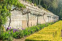 France, Sarthe (72),  Poncé-sur-le-Loir, jardin du château de Poncé en avril, mur de soutainnement de la terrasse, vignes palissées et plantes de sol sec, iris des jardins, Phlomis, romarin