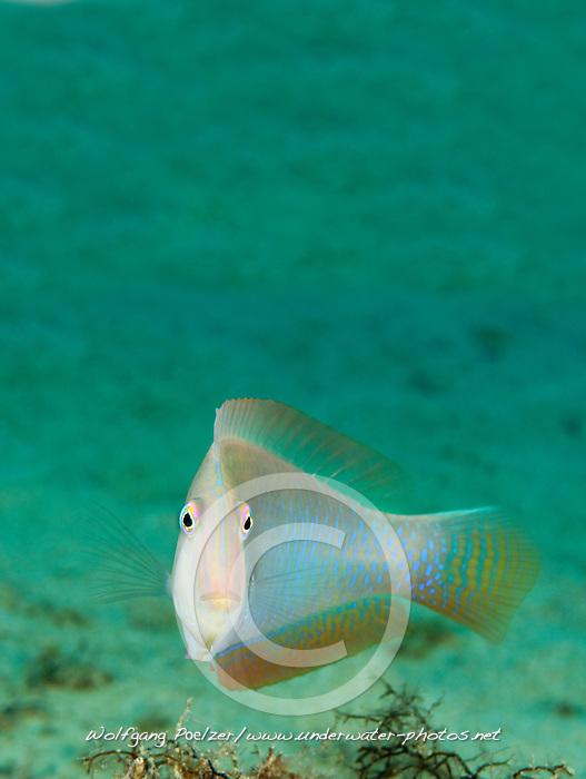 Xyrichthys novacula, Mittelmeer Schermesserfisch, Pearly razorfish, Xwejni Bay, Gozo, Malta, Sued Europa, Mittelmeer, Mare Mediterraneum, Sotuh Europe, Mediterranean Sea
