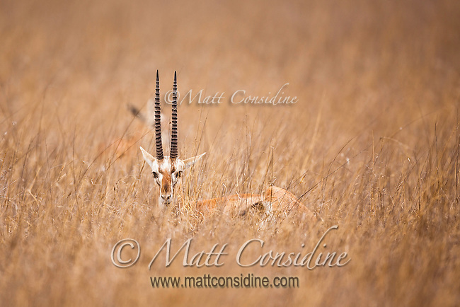 Gazelle buck camouflaged in long dry savanna grass in Kenya, Africa (photo by Wildlife Photographer Matt Considine)
