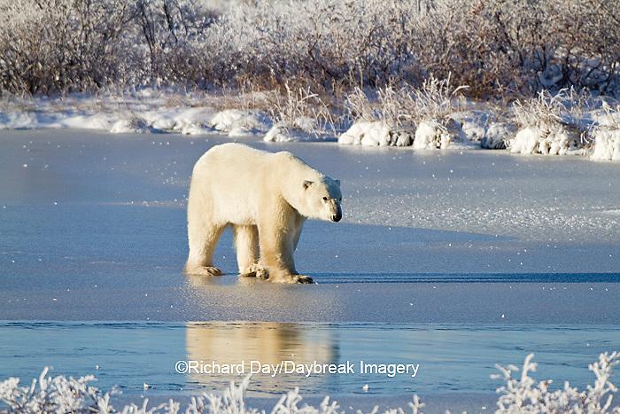 01874-12315 Polar bear (Ursus maritimus) walking on frozen pond, Churchill Wildlife Management Area, Churchill, MB Canada