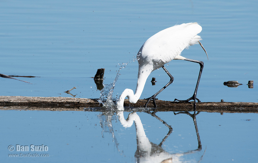 Great Egret, Ardea alba, catches a fish in Lake Ewauna, Klamath Falls, Oregon