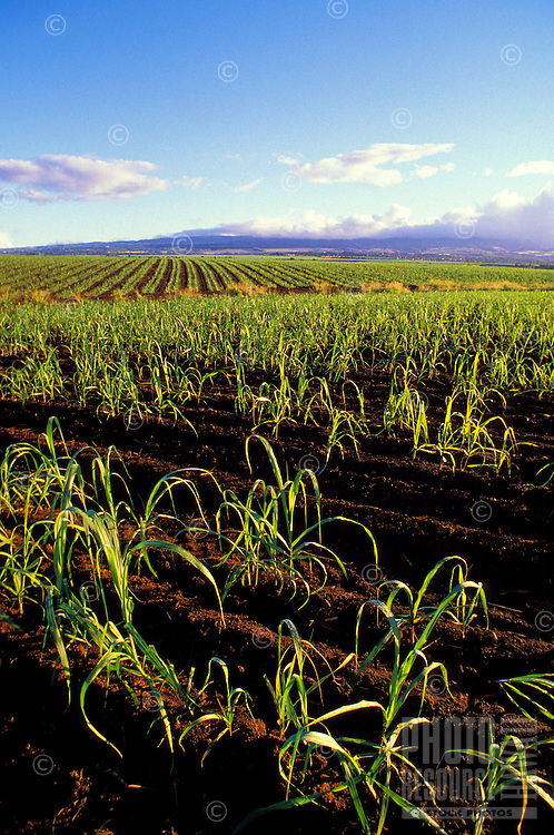 Sugar cane field found in Kunia, Oahu
