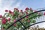 Roses in the James P. Kelleher Rose Garden, Boston, Massachusetts, USA
