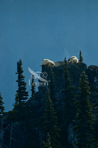 Mountain goat billies resting in a cool, safe spot on mountain top.  Sept. Pacific Northwest.