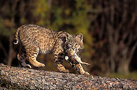 BOBCAT with bobwhite. Autumn. Rocky Mountains. (Felis rufus).