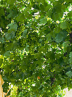 Treille avec raisins..Treillised vineyard with grapes.