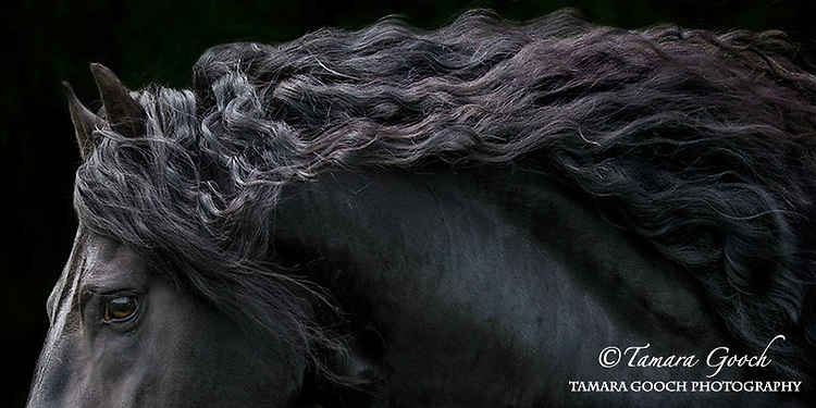 A fine art photograph of a Friesian stallions head, neck and mane.