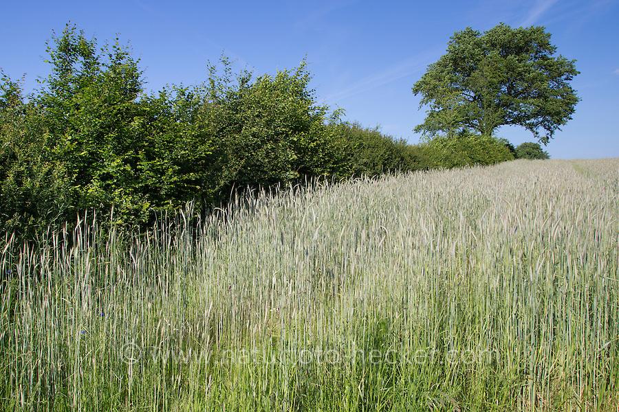 Roggen, Saat-Roggen, Roggenanbau, Roggenfeld, Acker, Secale cereale, Rye. Knick, Hecke, Heckenlandschaft, Knicklandschaft. Hamfelder Hof, Schleswig-Holstein