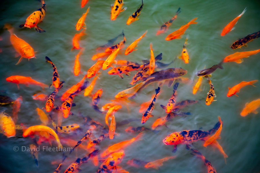 A stylized image of ornamental koi fish, Cyprinus carpio, at one of the ponds in the Buddha Eden Garden, Carvalhal, Portugal.