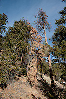 A dead pine tree near the Peak to Peak Highway 72 in Colorado, Wednesday, February 1, 2012. National Forests in Colorado could, under rule making now going on in the Obama administration, have much reduced protections from development than the rest of the nation under the so-called roadless rules, proposed in the Clinton administration, and recently vindicated by a federal appeals panel..Photo by Matt Nager