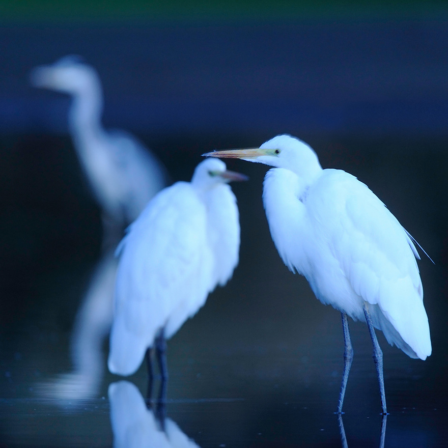 Mission: Black Storks River Elbe Germany; Biosphärenreservat Niedersächsische Elbtalaue; Biosphere Reserve Middle Elbe; Silberreiher; Great White Egret; Casmerodius albus. digitally cleaned.