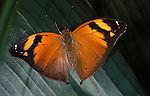 Autumn Leaf Butterfly, Doleschallia bisaltide, Nymphalidae sp. Malaysia adult with wings open orange colour.Malaysia....