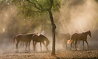 Marwari mares in Nawalgarh, Rajasthan, India Marwari mares in a field, Nawalgarh, Rajasthan, India