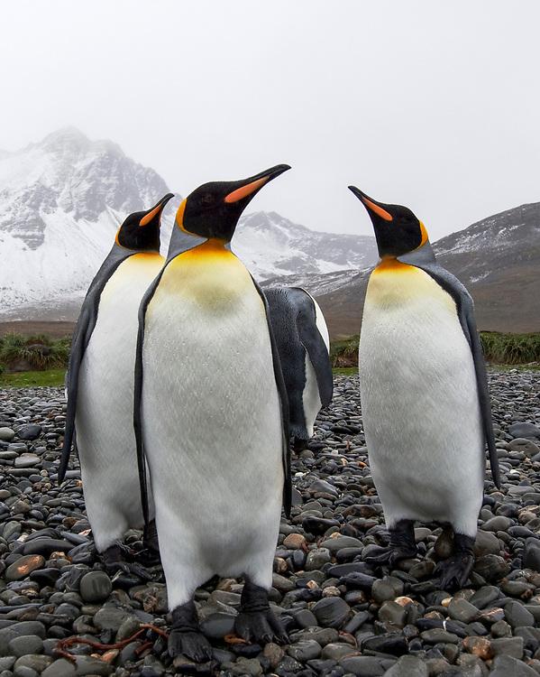 King Penguin (Aptenodytes patagonicus) , Jason harbour, South Georgia