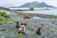 Antarctic fur seal, Arctocephalus gazella, aka Kerguelen fur seal, rare, leucistic pup, playing along with normally dark-colored pup, Husvik Bay, South Georgia, Atlantic Ocean