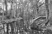 The reflections of cypress trees in this black and white photograph from the Texas Hill country offers a dramatic contrast in the still air of a fall day. Found along Cibolo Creek at the Cibolo Nature Preserve, these cypress can be enjoyed by everyone with just a short stroll.