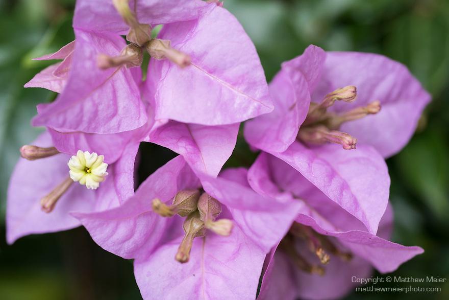 Anda, Bohol, Philippines; pink bougainvillea flowers