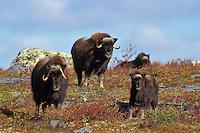 Muskox herd (Ovibos moschatus)