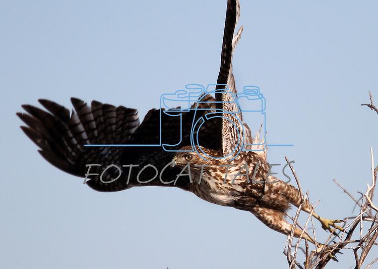 A hawk seen in Genoa, Nev. on Monday, Jan. 21, 2013. .Photo by Cathleen Allison