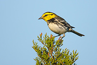 Golden-cheeked Warbler - Setophaga chrysoparia - female