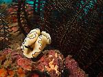 Kenting, Taiwan -- The nudibranch Glossodoris atromarginata crawling over substrate.