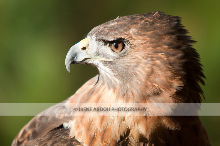 This red-tailed hawk at the Pocomoke River State Park in Maryland is under the care of the National Park Service.