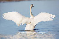 00758-01019 Trumpeter Swan (Cygnus buccinator) flapping wings in wetland, Marion Co., IL
