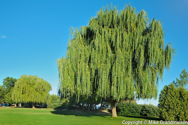 Weeping willows in urban park at Port Dalhouise<br /> St. Catharines<br /> Ontario<br /> Canada